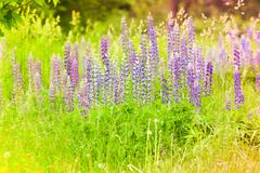 Sweet lupins and meadow flowers Stock Photos