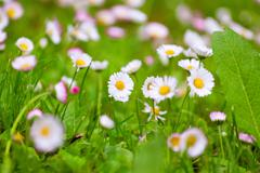Daisies in a meadow, close-up Stock Photos