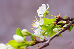 Apple trees with flowers and buds Stock Photos