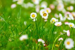 delicate flowers of daisies - stock photo