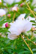 large white peony in garden - stock photo