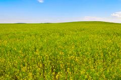 rapeseed field in bloom - stock photo
