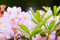 Fragile of pink rhododendrons in bloom Stock Photos