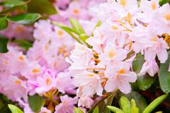 Garden rhododendrons in bloom, springtime Stock Photos