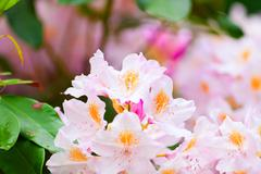 Buds of pink rhododendrons in summer Stock Photos