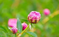 Buds varietal peonies in bloom Stock Photos