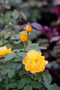 bush of yellow garden roses - stock photo