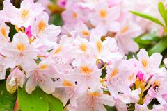 tender rhododendrons in bloom - stock photo