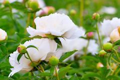 Lush white peonies in bloom Stock Photos