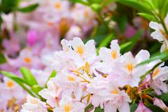 Fragile pink buds of rhododendrons Stock Photos