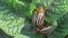Two Colorado potato beetle on potato leaves Stock Footage