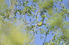 Blue-winged Warbler eye contact - stock photo