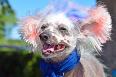 Patriotic Chinese Crested Hairless dog Stock Photos