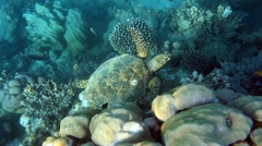 Movie clip - Loggerhead sea turtle Caretta caretta - Red Sea - Marsa Alam Stock Footage