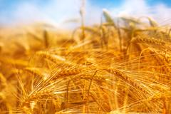 Golden barley field, selective focus Stock Photos