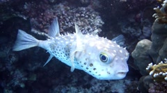 Movie clip - Sea fish Porcupinefish (Diodon hystrix) - Red Sea Stock Footage