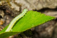 A green loopers larva Stock Photos