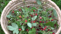 Freshly picked wild strawberries in wicker basket Stock Footage