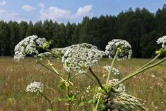 Harmful plant cow parsnip Stock Photos