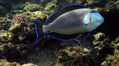 Sea fish - Sohal surgeonfish (Acanthurus sohal)  - attack on camera Stock Footage