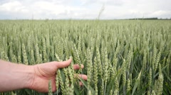 Man hand touching of unripe green wheat ears in large wheat field. Summer view Stock Footage