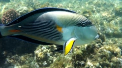 Sea fish - Sohal surgeonfish (Acanthurus sohal) - attack on camera Stock Footage
