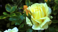 Yellow Rose in Garden Stock Footage