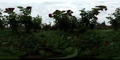 360Vr Video Flower Bed Red and White Flowers Green Oval Leaves Cloudy Summer - stock footage
