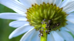 Ant grazing aphid on chamomile flower . Pack of 2 shots. Stock Footage