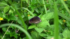Black Butterfly in Green Grass. Slow Motion Stock Footage