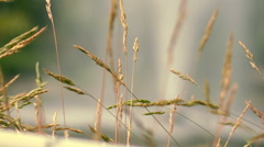 Dry grass spike at autumn meadow. Furry spike grass in morning light - stock footage
