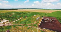 Flying on a Drone in the Field of Cows and Orchards Stock Footage