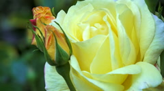 Yellow rose with buds in garden Stock Footage