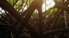 Twisted roots of mangroves in tropical forest. Beautiful nature Stock Footage