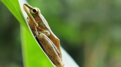 Tropical tree frog on green leaf close up video Stock Footage