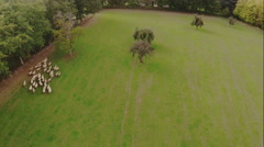 Flock of sheep grazing. Aerial. Stock Footage