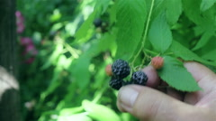 Closeup shot of blackberry growing on the bush Stock Footage