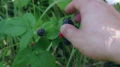 Unknown person is picking berries off. Stock Footage