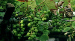 Camera runs along the vine and green grapes, the sun is shining. green fox grape Stock Footage