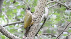 Female green woodpecker on a branch. Stock Footage