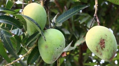 Mangoes on tree Stock Footage