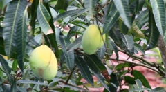 Mango in the garden Stock Footage