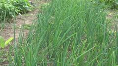 Onions growing in vegetable garden, 4K Stock Footage