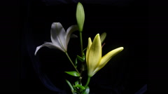 Flowers on a black background. - stock footage