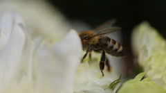 Close Up Of Bee On The Daisy Flower, A Bee Collects Nectar In The Daisy Flowers Stock Footage