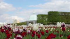Tulips in the park Peterhof Stock Footage