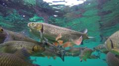 Fish swimming in Plitvice lake underwater Stock Footage