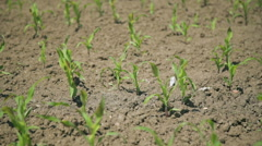A Field of Young Sweet Corn  Stock Footage