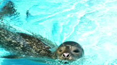 Seal Swims in a Zoo's Pool Stock Footage