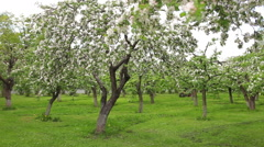 Man on the mower mows the grass among the apple trees Stock Footage